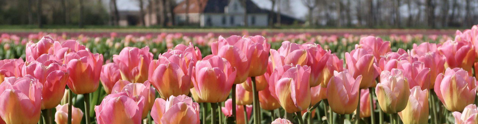 Rose tulpen en boerderij IMG_3145